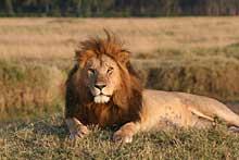 Kenia Löwe