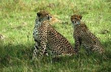 geparden-mara-kenia.jpg