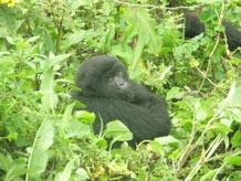 Jungtier der Gorillas im Ruhengere Urwald