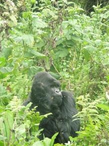 Wachposten der Gorillas im Ruhengere Urwald