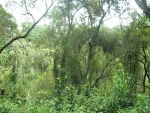 Urwald im Ruhengere Urwald
