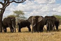 Tansania Elefant