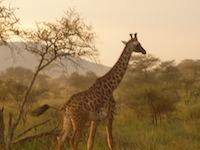 Tansania Giraffe