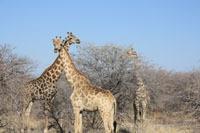 etosha-nationalpark-giraffen.jpg