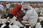Impfung von Ziegen