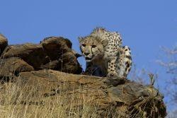 Gepard auf Fels