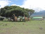 giraffen vor der Krankenstation
